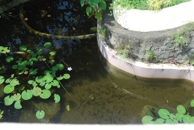 Water plants in the pond are usually uprooted by the storm.
